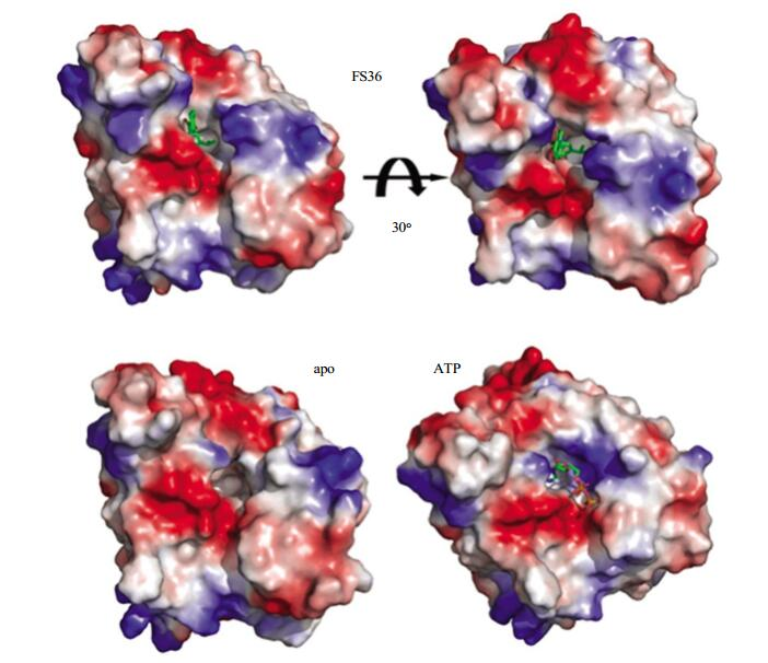 Discovery of FS36 as a Novel Human Hsp90 Inhibitor